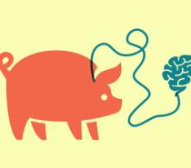 Ciência Neurocientistas mantêm cérebros de porcos vivos por 36 horas fora do corpo