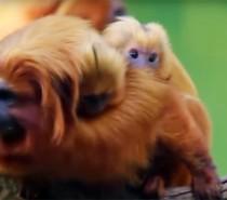 VÍDEO: Filhotes de mico-leão-dourado nascem no Beto Carrero World