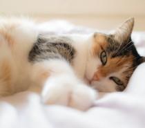 Caso Raro – Laboratório da Universidade de Caxias do Sul fez diagnóstico de SARS-CoV-2 em gata doméstica de Caxias do Sul