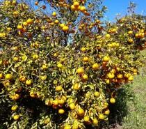 Boa ação / Agricultores doam uma tonelada de bergamotas